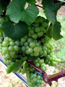 White wine grapes cluster in Long Island's North Fork, where vineyards and farmstands are plenty.